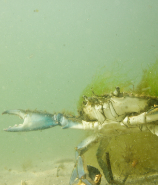 A crab in Fishers Island Sound