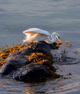 An egret with a fish in his beak