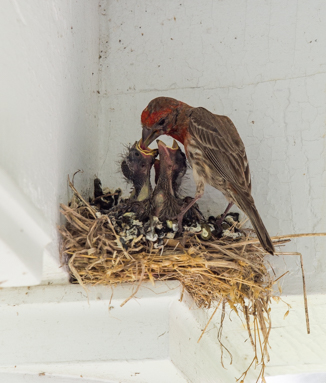 A nest of house finches
